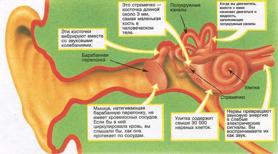 Строение человеческого уха в картинках, новым